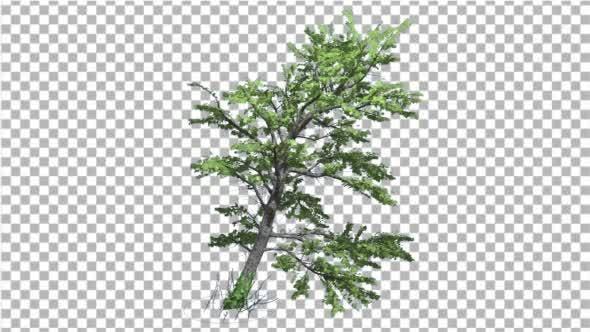Thumbnail for Plitvice Maple Tree Cut of Chroma Key Tree on