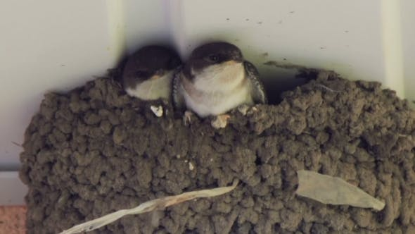 Thumbnail for Swallow Chicks In The Nest
