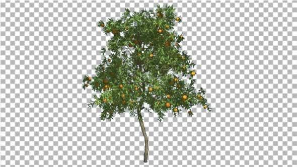 Cover Image for Orange Tree Fruits Small Thin Tree Cut of Chroma