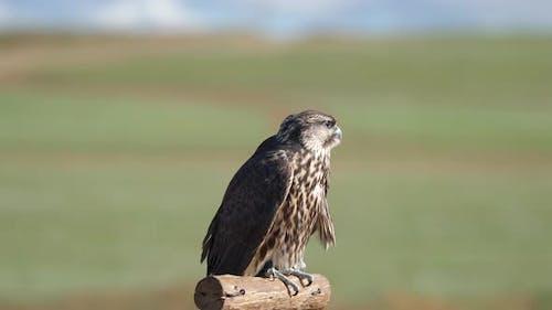 Hunter Predator Falcon is Raptor Bird of Prey in Genus Falco