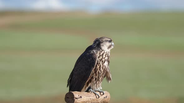 Hunter Predator Falcon is Raptor Bird of Prey in Genus Falco