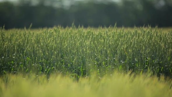 Thumbnail for Green Wheat Field