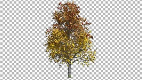 Thumbnail for Mountain Maple Tree Swaying In the Wind