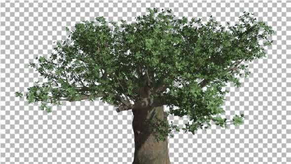 Cover Image for Crown of Madagascan Baobab Tree Swaying