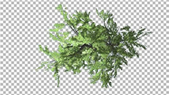 Thumbnail for Plitvice Maple Tree Swaying at the Wind
