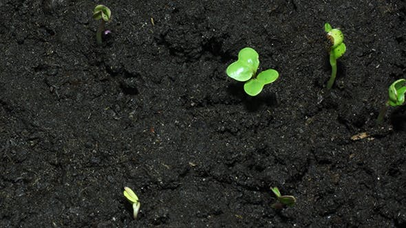 Green Sprouts On Black Organic Soil