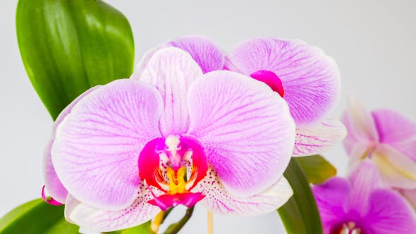 Thumbnail for Pink Orchid Flowers