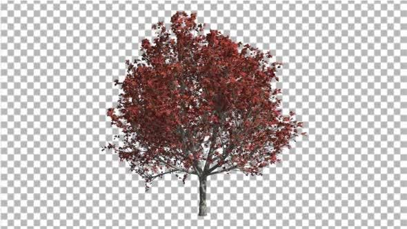 Thumbnail for Bradford Pear Fall Red Shade of Leaves Swaying