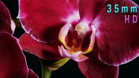 Thumbnail for Purple Orchids Flower 01