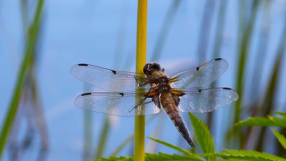 Thumbnail for Dragonfly Sits And Then Flies Away