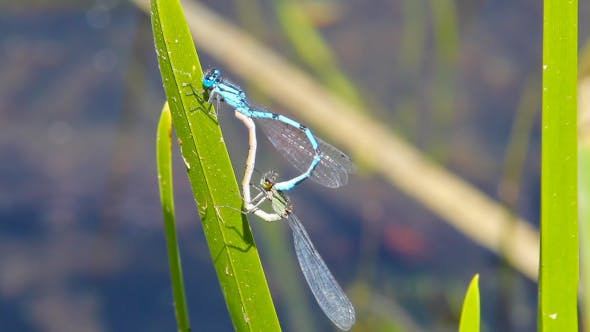 Thumbnail for Dragonflies Copulating On Blade Of Grass