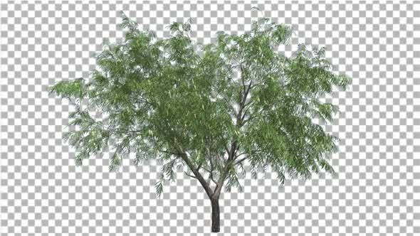 Thumbnail for Honey Mesquite Tree Flowers Thin Trunk Narrow