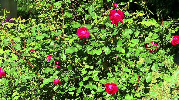 Thumbnail for Bush of Red Roses