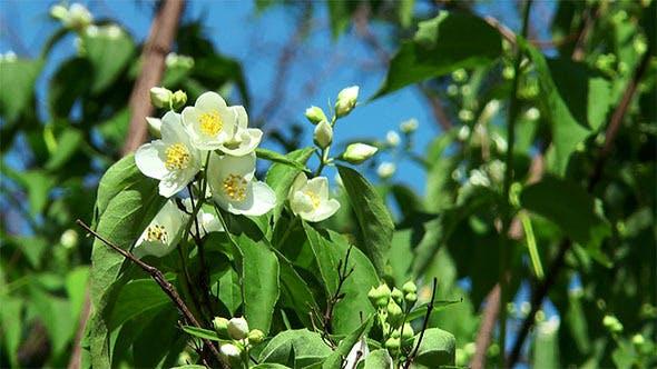 Thumbnail for Jasmine Flower