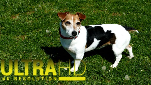 Cover Image for Jack Russell Terrier 2