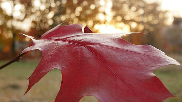 Cover Image for Red Wide Leaf on the Tree in the Sunset