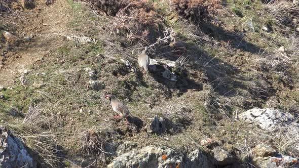 Thumbnail for Natural Real Wild Chukar Partridges