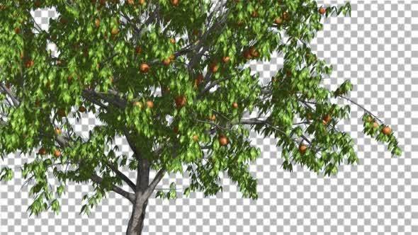 Peach Thin Tree Crown With Fruits Peaches