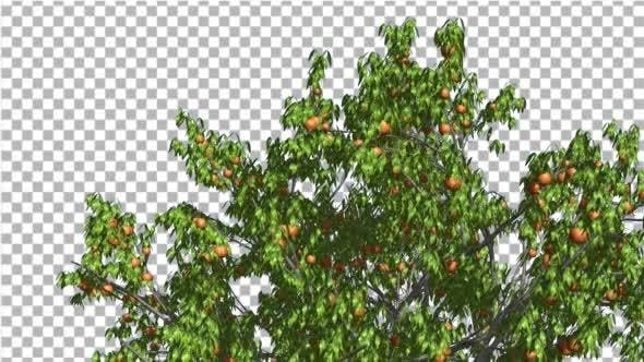 Thumbnail for Peach Top of Tree Crown With Fruits Peaches