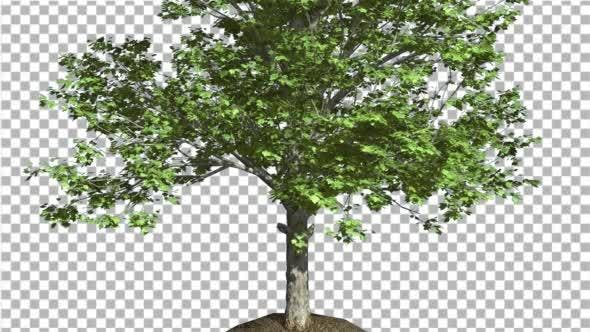 Thumbnail for Red Maple Tree Trunk And Crown With Green Leaves