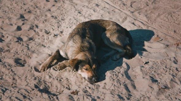 Homeless Dog Lying On The Sand