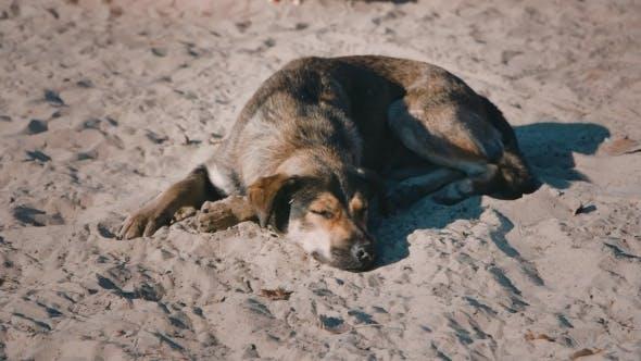 Thumbnail for Homeless Dog Lying On The Sand