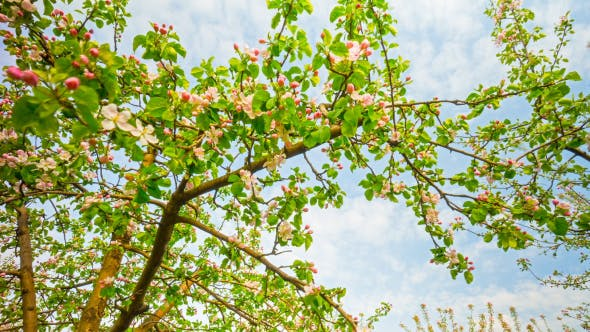 Thumbnail for Apple Tree With Flowers