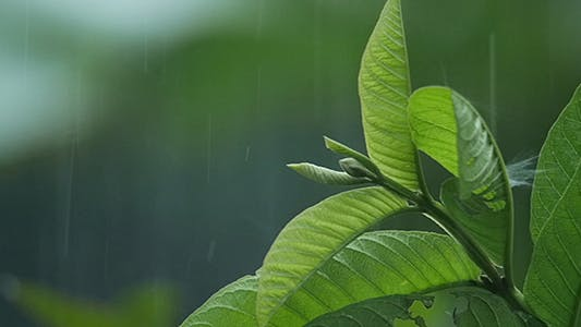 Thumbnail for Leaf in the Rain