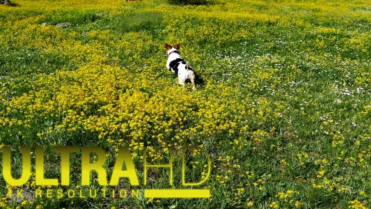 Thumbnail for Jack Russell Terrier 5