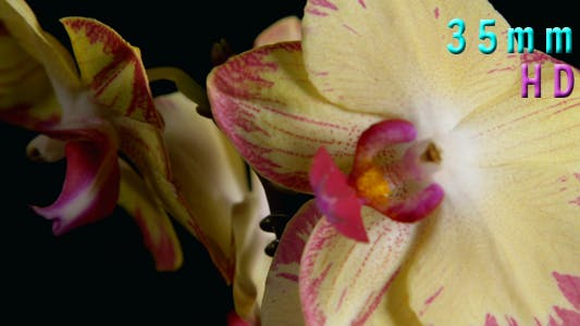 Thumbnail for Yellow and Purple Orchids 05