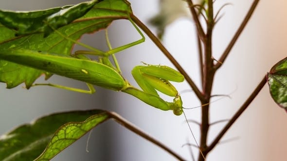 Thumbnail for Green Mantis Hanging On A Swinging Leaf While