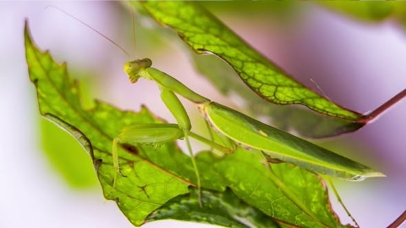 Thumbnail for Praying Mantis Pretending To Be A Green Leaf