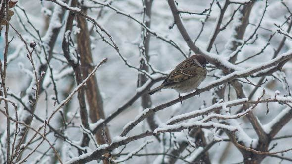 Thumbnail for Sparrow On A Branch In Winter-time