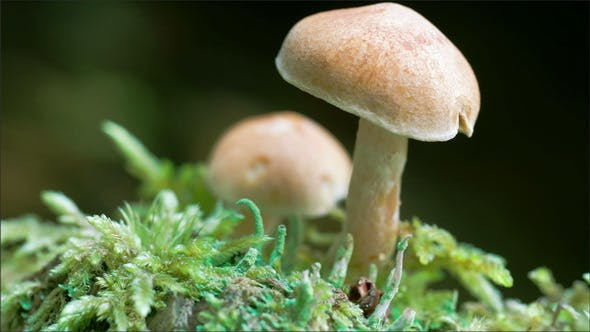 Thumbnail for A White Mushroom on the Forest