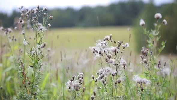 Wind Blows Off Feathery Pappus And Overblown Field