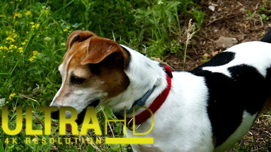 Thumbnail for Jack Russell Terrier 9