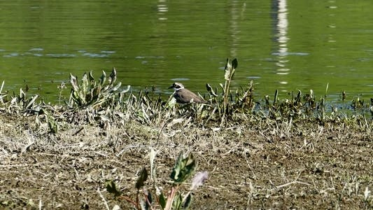 Thumbnail for Little Ringed Plover (Charadrius Dubius) 1