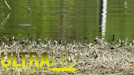 Thumbnail for Little Ringed Plover (Charadrius Dubius) 2