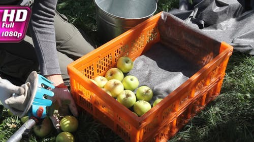 Careful Harvesting of Apples