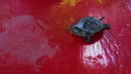 Little Turtle Moving on a Red Table