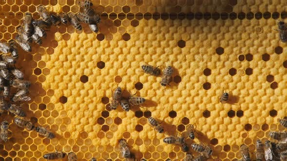 Thumbnail for Bee larvae in the honeycomb, insect seeding. Bee colony.