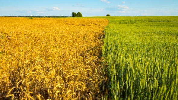 Thumbnail for Ripe Wheat And Green Field