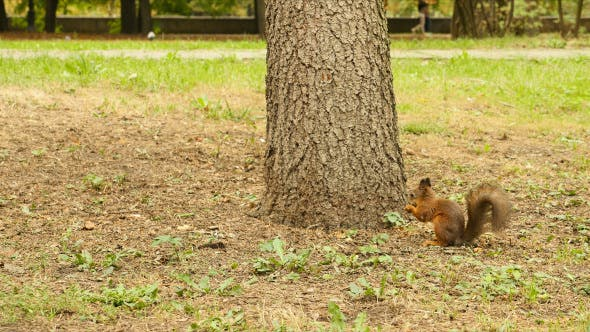 Thumbnail for Squirrel Eats the Nut in the Park