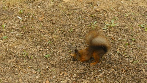 Squirrel Eats the Nut in the Ground