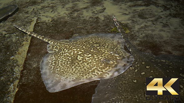 Thumbnail for Stingray on Shallow Water