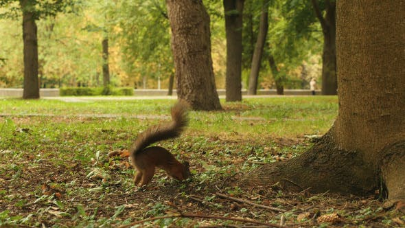 Thumbnail for Squirrel Hides the Food in the Park