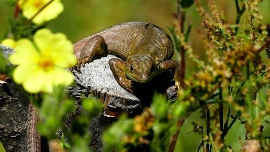 Thumbnail for Lizard 4