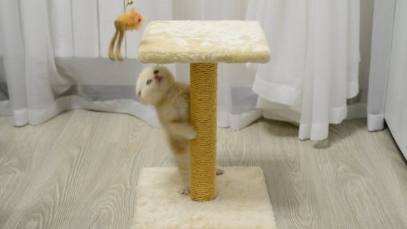 Thumbnail for Beige Kitten Playing With a Toy And  Scratching
