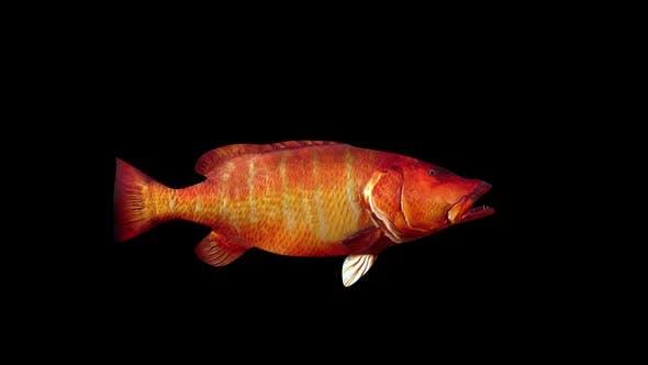 Cubera Snapper Fish