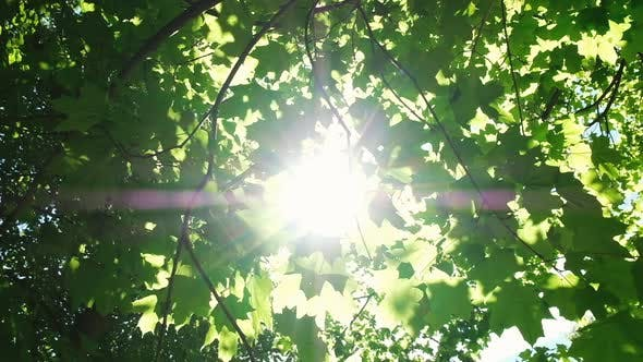 Thumbnail for Sunlight Makes Its Way Through the Leaves in the Forest, the Sun's Rays Shine Between the Maple